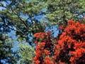 Red mistletoe