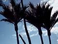 Nīkau palms