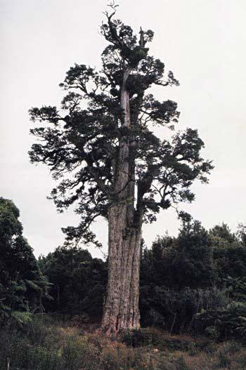 Pouakani, the world's biggest tōtara