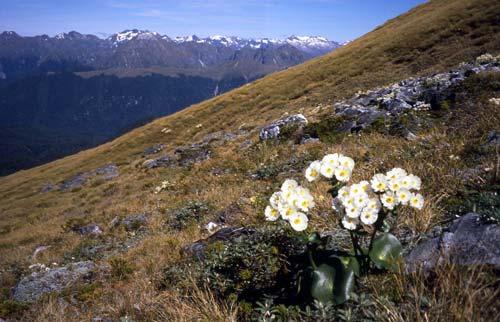 Low-alpine curled snow tussock