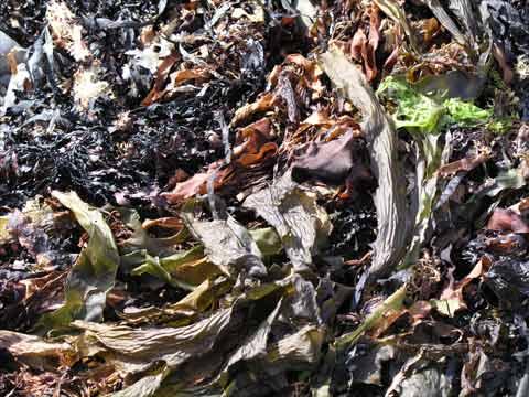 Storm-cast seaweeds