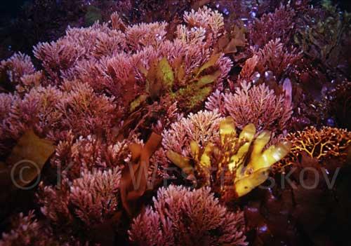 Red seaweeds