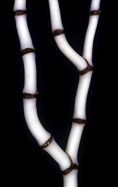 Bamboo coral