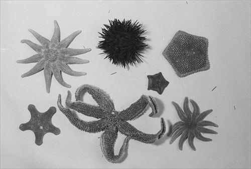 Dried starfish and sea urchin