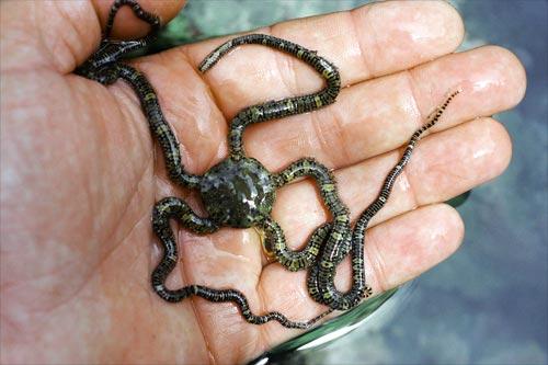 Mottled brittle star