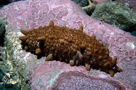 Common sea cucumber
