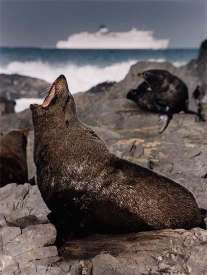 Male New Zealand fur seal