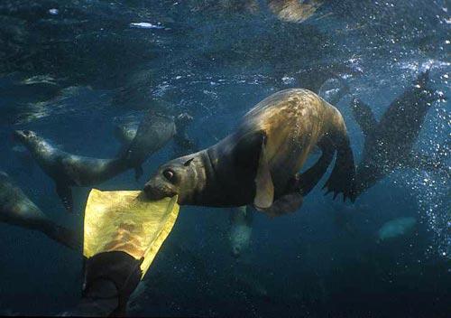 Seal biting a flipper