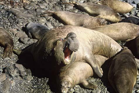 Elephant seals mating