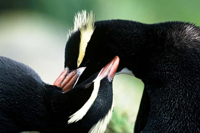 Erect-crested penguins preening