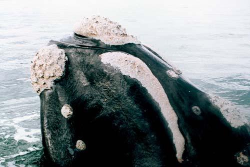 Tohorā (southern right whale)