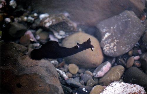Sea hare