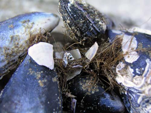 Mussel beard