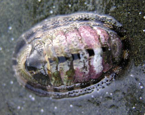 Snakeskin chiton