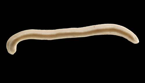 Aplacophoran mollusc