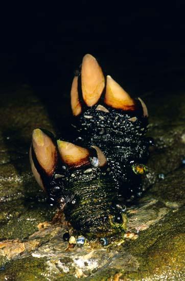 Stalked barnacle