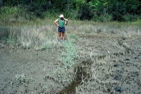 Cordgrass control
