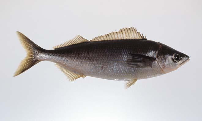 Telescope fish