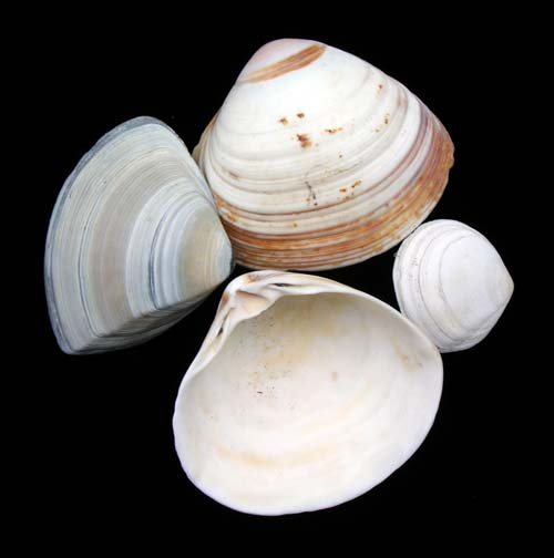 Trough shells