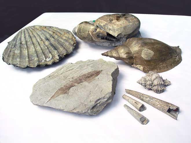 Cenozoic fossils