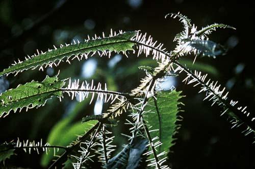 Stinging hairs of ongaonga