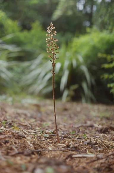 Potato orchid