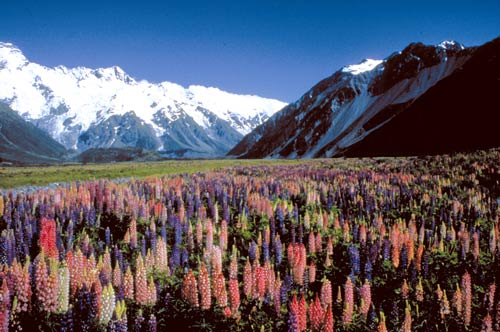 The impact of lupins