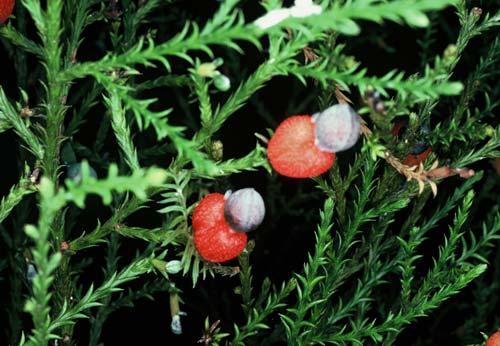 Kahikatea berries