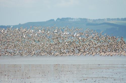 Kaipara birds