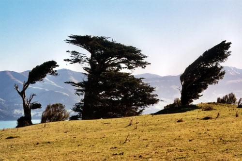 Windswept trees, Banks Peninsula