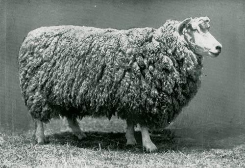 English Leicester ewe