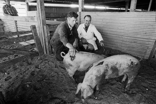 Winning pigs