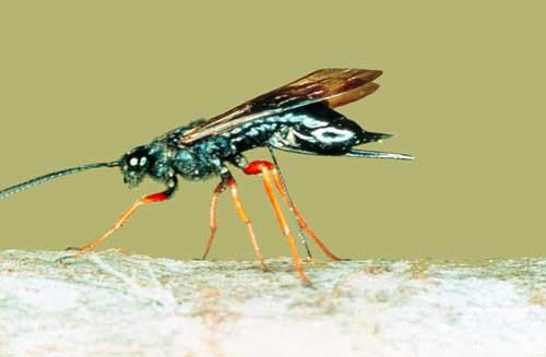 Female sirex wasp