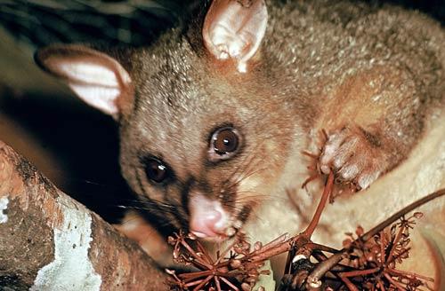 Possum eating five-finger berries