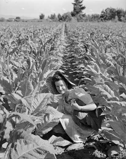 Picking tobacco