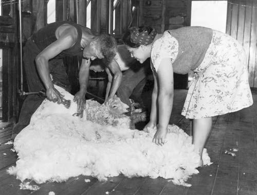 Māori shearers