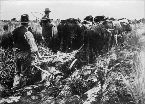 Bullocks ploughing