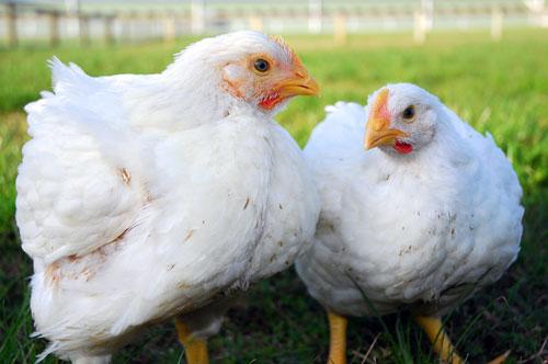 Ross chickens