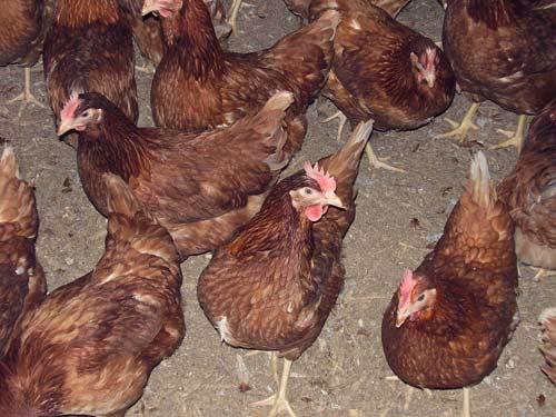 Barn-raised hens