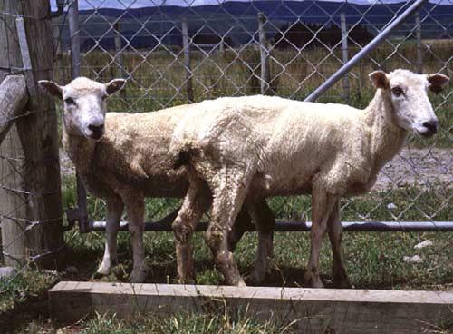 Johne's disease in sheep
