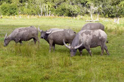 Wallowing swamp buffaloes