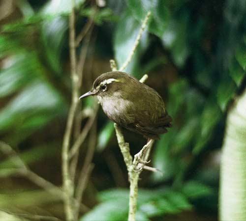 Mātuhi (bush wren)