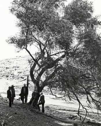 Manuel José's olive tree