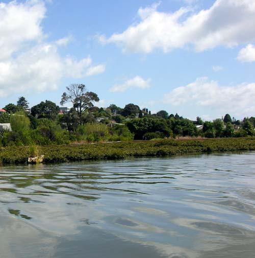 Mangroves, Tauranga Harbour