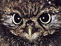 Little owl with dead thrush