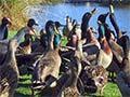 Feeding ducks, Ngā Manu reserve