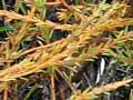 Scale-like leaves