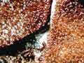 A carrageenan-producing seaweed