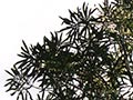 Growth forms of lancewood
